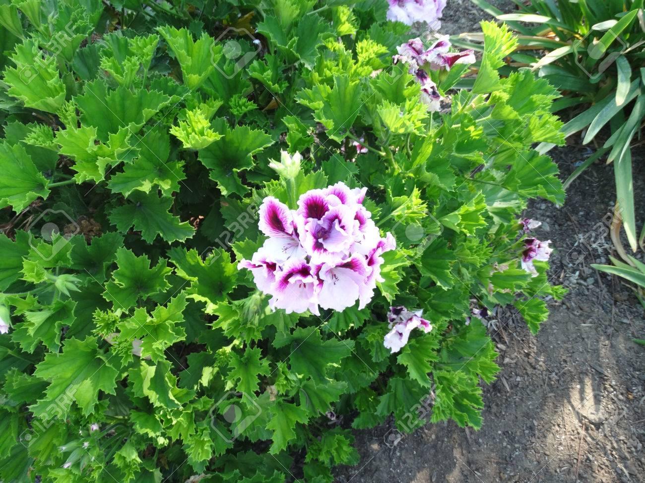 Pelargonium x domesticum, Regal Geranium, Lady Washington Geranium, Small  shrubby plant with large