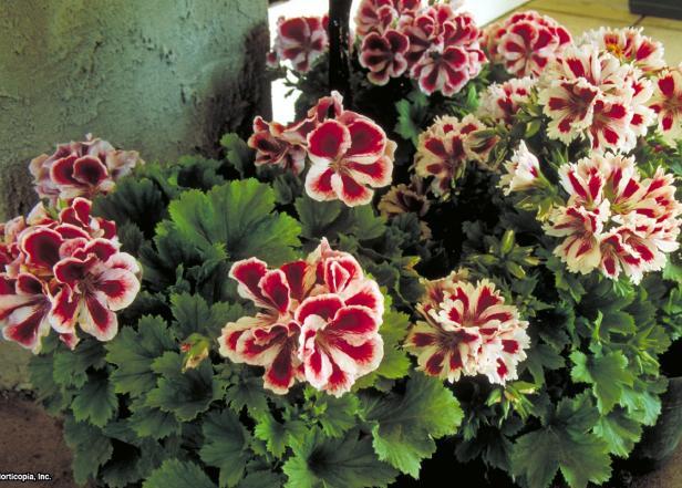 Pelargonium x domesticum ~Aztec~ (02) Habit
