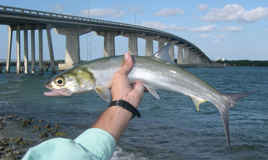 Ladyfish caught by bridge in winter.