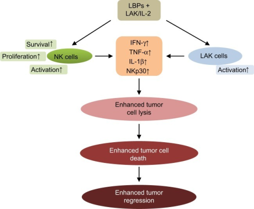 LBPs potentiate the immune-enhancing activity of LAK/IL-2 therapy in cancer