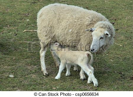 Mother sheep with her lam - csp0656634
