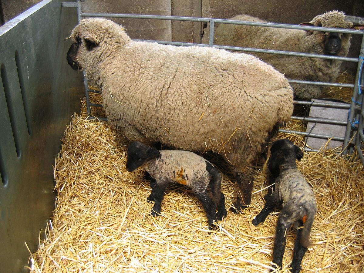 lamb - Liberal Dictionary